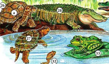 26. Tortue a. Shell 27. Turtle 28. Alligator 32. têtard 33. grenouille