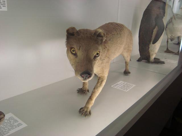 Muzeum Przyrodnicze we Wrocławiu - Wilk workowaty
