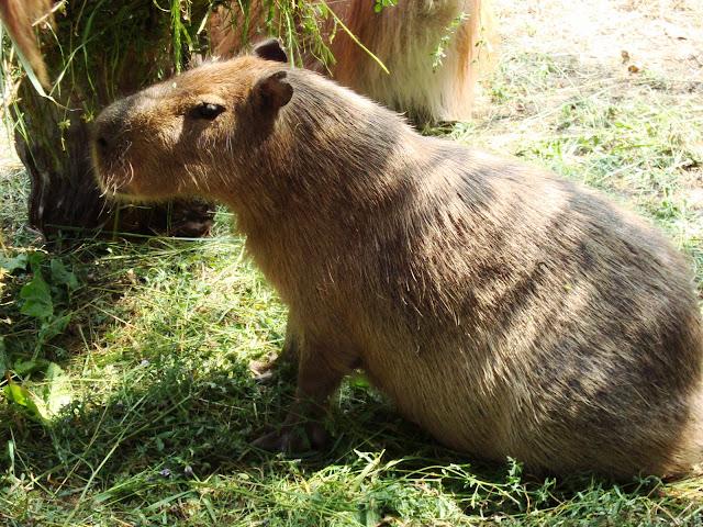 Kapibara - Zoo Wrocław
