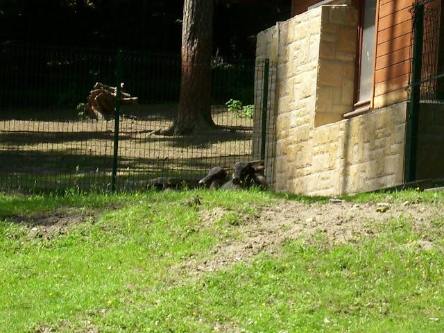 Para anoa nizinnych jeszcze razem na wybiegu - Zoo Oliwa