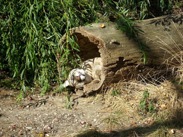 Puma w Opolu - widać, że pumom jest tu dobrze :)