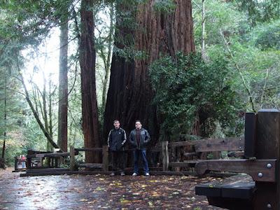 Bazi redwood Muir Woodsban