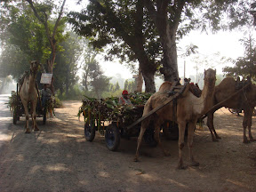 Camel used at Gujarath