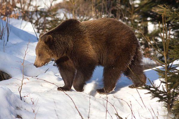 Αποτέλεσμα εικόνας για Καφέ Αρκούδα (Ursus Arctos)