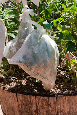 Exclusion bag on Capsicum plant