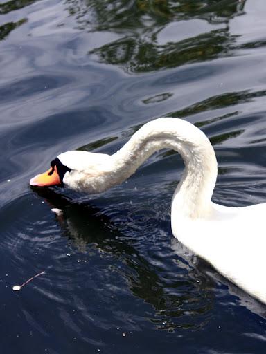 El Hermoso Cisne
