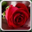 Rose Live Wallpaper APK