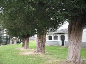 Tejos del campo de la iglesia de Rozadas