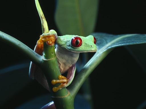 Frog-Wallpaper-On-Desktop