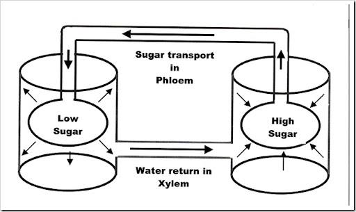 Biology Notes (HKAL): Mass flow hypothesis