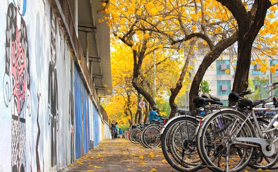台南中西區,黃花風鈴木