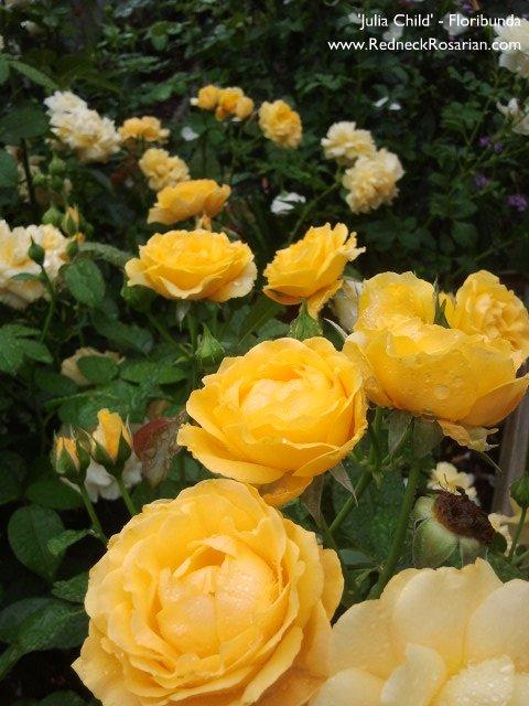 Grow Floribundas For Maximum Bloom Impact (4/4)