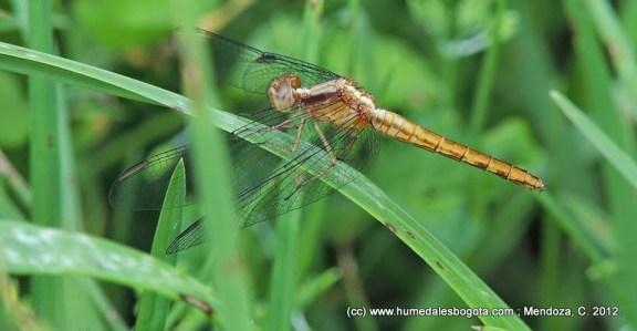 Odonato de la familia Libellulidae. Suborden: Anisoptera. Une, Cundinamarca.