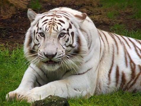 Harimau Putih  Kumpulan Gambar