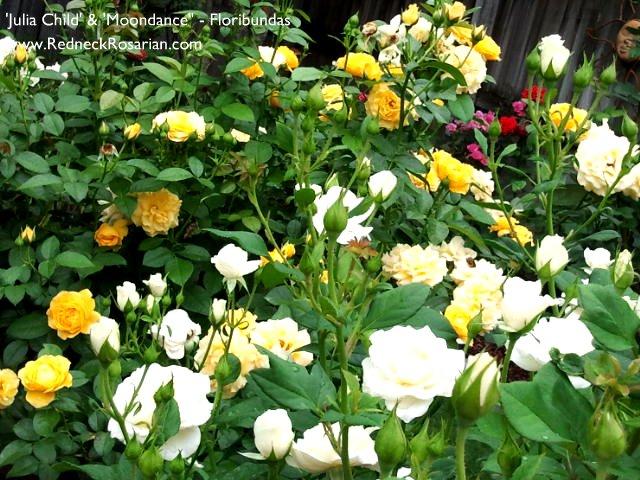 Grow Floribundas For Maximum Bloom Impact (1/4)