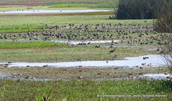 humedal Meandro del Say  Centenares de patos canadienses conviven con Tinguas, ibis, garzas y alcaravanes.