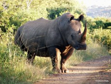 White Rhino at the Road Side