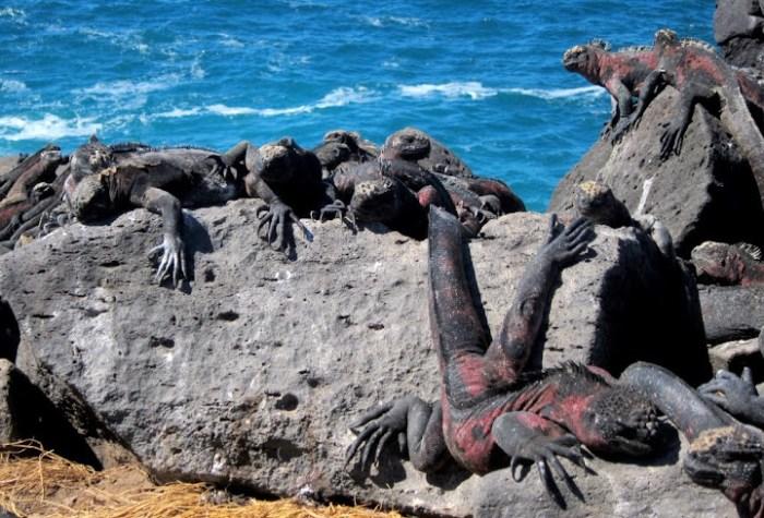 Marine iguana clan, Galapagos