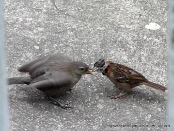 Copetón alimentando a un chamón