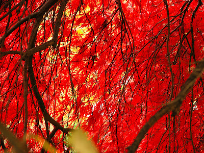 a curtain of Japanese Maple leaves