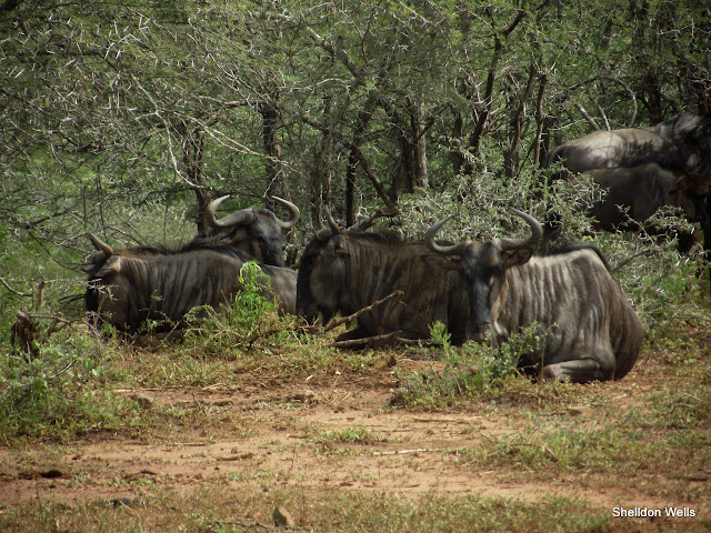 Wildebeest at the Hluhluwe Imfolozi Game Reserve