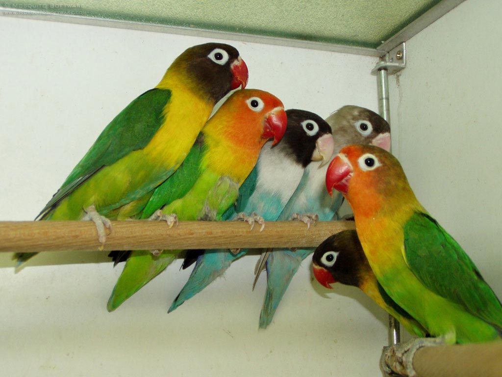 Love Birds Introduction