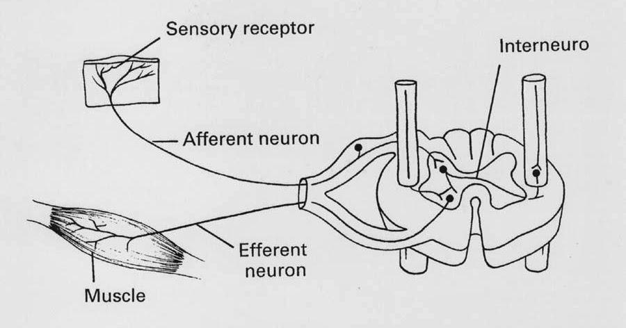 脊隨反射(Spinal reflex) - 小小整理網站 Smallcollation