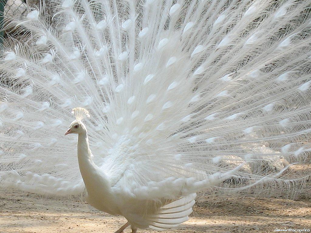 نتيجة بحث الصور عن طاووس