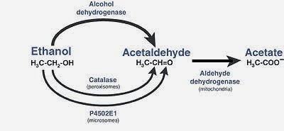 乙醇代謝(Metabolism of ethanol) - 小小整理網站 Smallcollation
