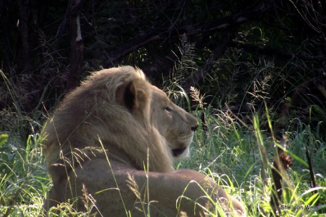 Lion Resting in the Shade at Hluhluwe Imfolozi Game Reserve