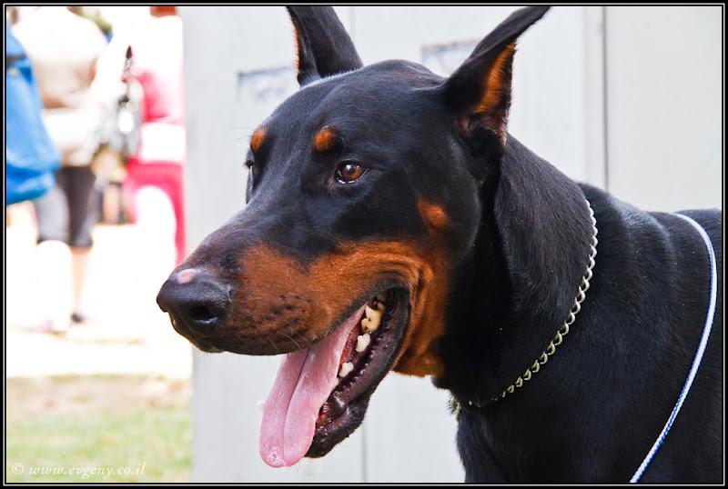 Фото: Тель Авив – Выставка собак. Часть I