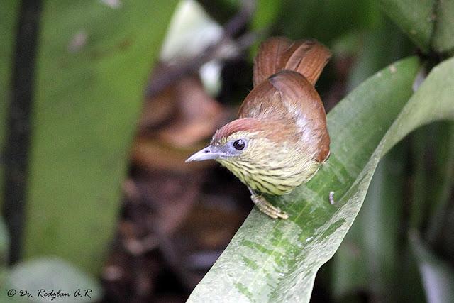 Pin-striped Tit Babbler (Macronous gularis)