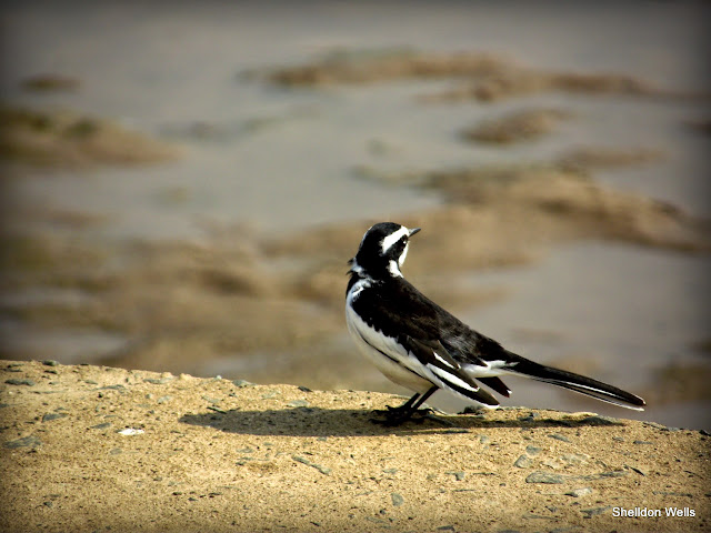 african pied wagtail at the hluhluwe imfolozi game reserve