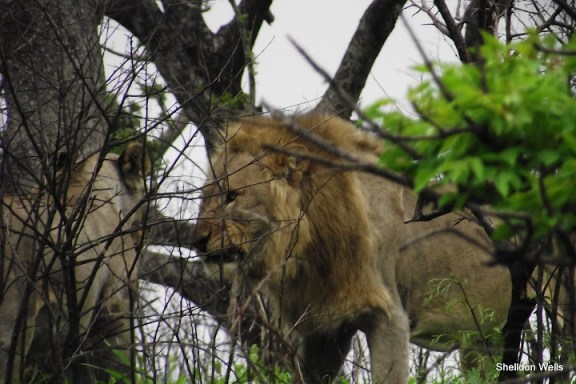 Lion Snarling at Female Lion Nearby