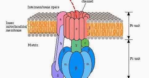 ATP合成酶製造ATP的機制(mechanism of ATP Synthase) - 小小整理網站 Smallcollation