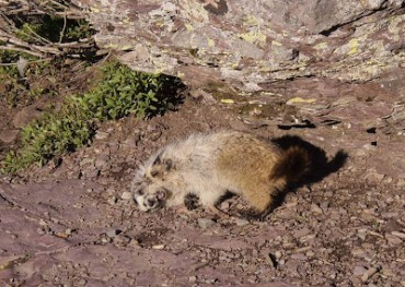 More cute marmots play-wrestling
