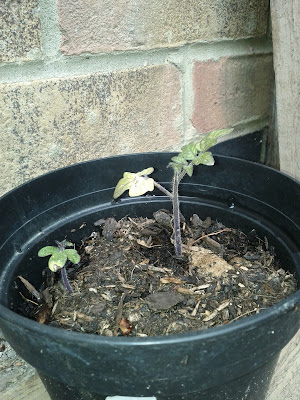 Tomato seedling with 2 leaves, looking a bit yellow, in a pot outside