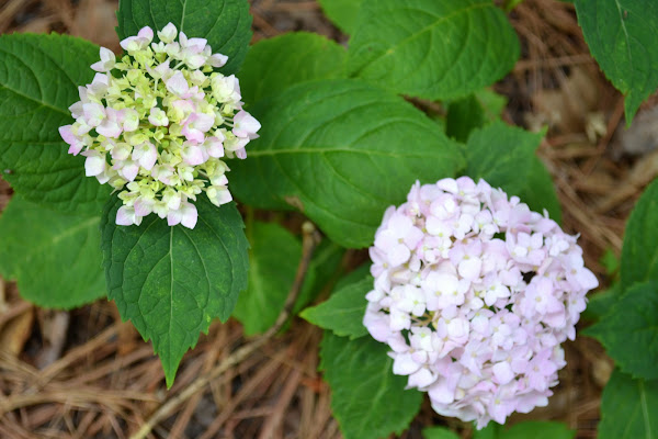pink and lilac hydrangea