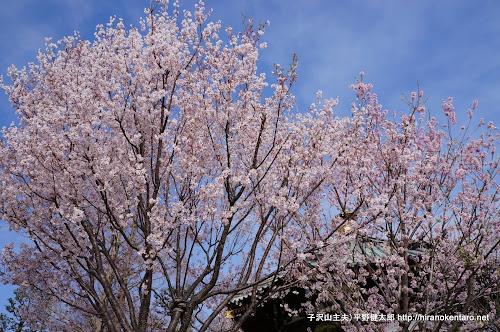 ほぼ満開の桜