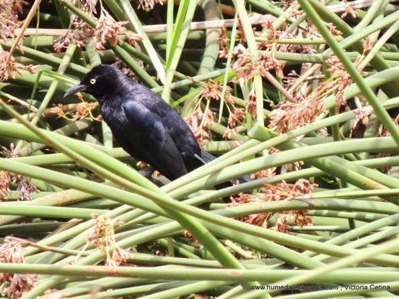 Toldo macho (Quiscalus lugubris)