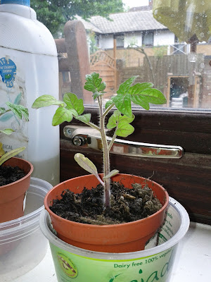 Tomato seedling with 4 leaves in small pot on windowsill