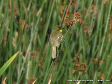 Doradito Lagunero, Humedal Parque La Florida, 12 de Junio de 2012