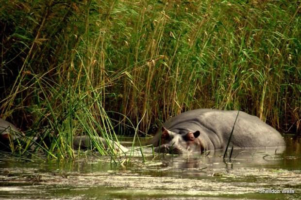 Hippo at St.Lucia Estuary