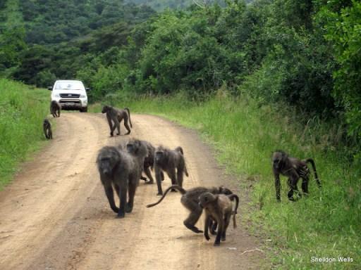 Baboon Troop at Hluhluwe Imfolozi Game Reserve