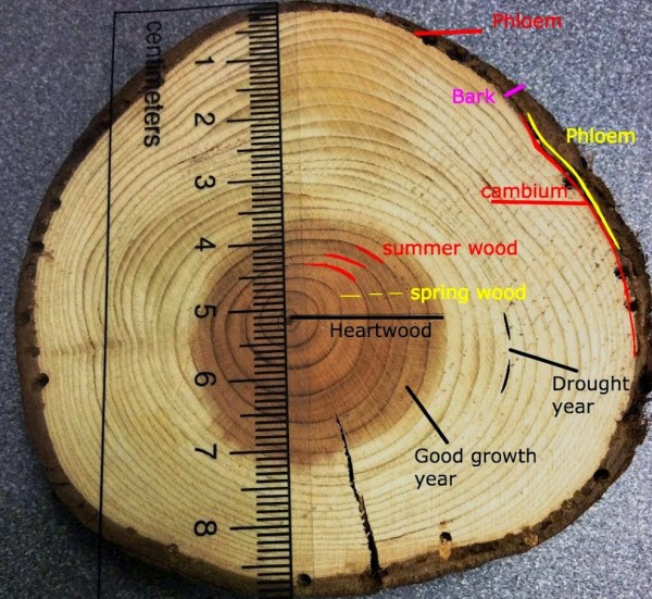Tree Rings & Climate - . Scipio Biology