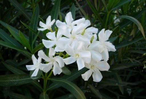 زهرة نبات الدفلة البيضاء