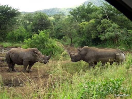 white rhino in the hluhluwe imfolozi game reserve