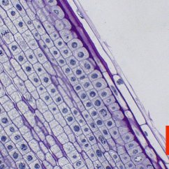 Onion Root Tip Diagram Labeled Of A Motor Car Mitosis Norman Herr Ph D