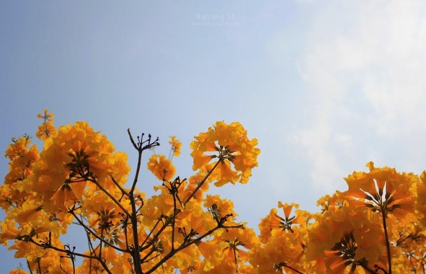 台南中西區,黃花風鈴木-2
