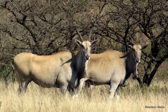 Common Eland at Tala Game Reserve